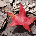 Sweet Gum Leaf in the Fall by Freese