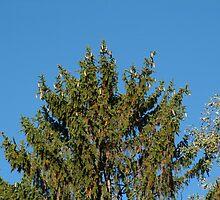 Majestic Pine by Carol Smith