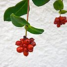 red berries by Philipp Verges