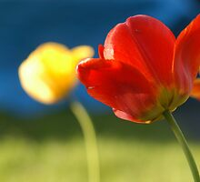Spring Tulips by Edson