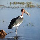 Marabou Stork, Chobe National Park, Botswana  by Adrian Paul