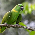 Green-naped Parrot - Costa Rica by Jim Cumming