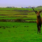 A rare sighting....A Stag! :) by Honor Kyne
