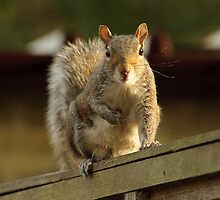 Grey Squirrel by John Hooton