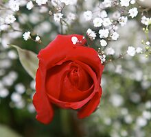 A fragrance of a  Red Rose by ZeeZeeshots
