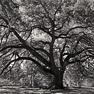 St. Mary&#x27;s Oak by Bonnie T.  Barry