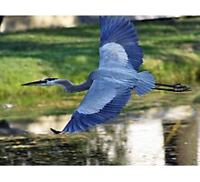 BLUE HERON FLIGHT Photographic Print