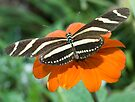 Zebra Longwing Butterfly. by Eyal Nahmias