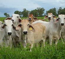 Brahman cattle by BonnieH