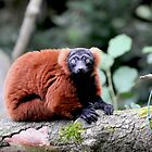 RED LEMUR (thank you for support on the name) by shanemcgowan