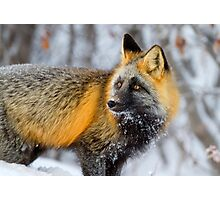 Cross Fox in the Arctic Photographic Print