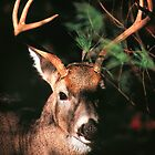WHITETAIL BUCK by Chuck Wickham