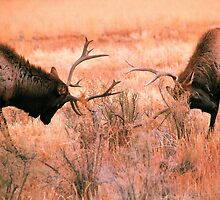 BULL ELK FIGHT by Chuck Wickham