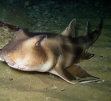 Port Jackson Shark by Edjamen