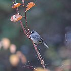 Junco by Michelle Jarvie