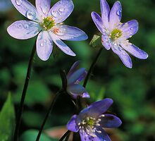 SHARP-LOBED HEPATICA* by Chuck Wickham