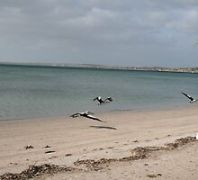 Pelicans at Streaky Bay,S.A. by elphonline