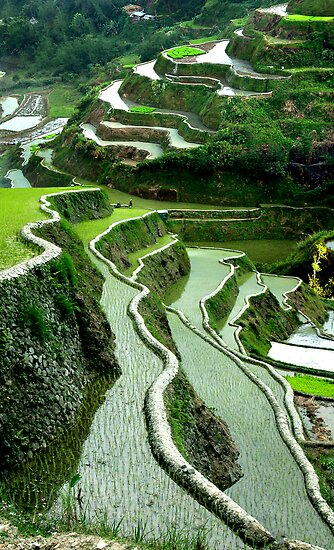 RICE TERRACES - LUZON by Michael Sheridan