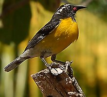 Little Yellow Song Bird by Scott Englund