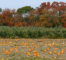 Autumn in Rhode Island | Pumpkins and Red Maples flank the Christmas Trees by Jack McCabe