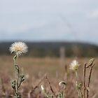 dandelion by tarnyacox