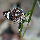 butterfly egg laying by tarnyacox