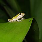 Eastern Dwarf Tree Frog, Litoria fallax by peterstreet
