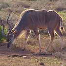 KUDU MALE ANTELOPE by hugo