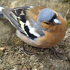 Chaffinch #2 by Talia Knight