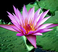 Water Lily... by LjMaxx
