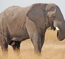 Bull Elephant, Moremi Game Reserve, Botswana by Adrian Paul