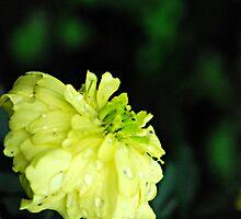 Raindrops by Kirsten Bianchi