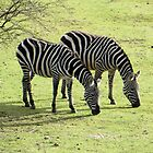 Zebras in Spring by ienemien