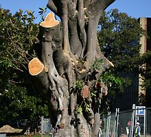 On Death Row: Moreton Bay Figs Face the Axe by Erland Howden