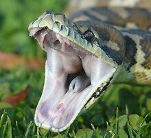 Darwin Carpet Python - Morelia spilota variegata by peterstreet