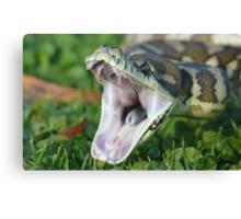 Darwin Carpet Python - Morelia spilota variegata Canvas Print