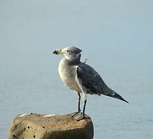 Juvenile Pacific Gull by tarnyacox