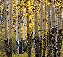 The Aspen Stand by John  De Bord Photography