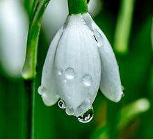 Raindrops on the snowdrops by Luke Farmer