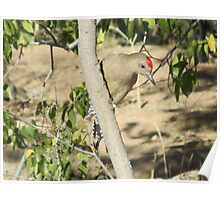 Gila Woodpecker Poster