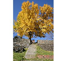 The Ginkgo Tree Photographic Print