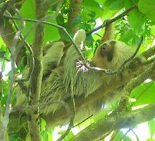 Costa Rica Sloth by Paige Strayer