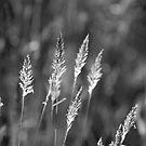 Grass seed heads by Catherine Davis