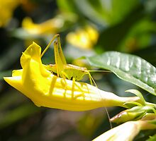 Grasshopper Hiding by Charmaine Nelson