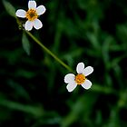 Twin white flowers by Yentuoc