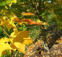 Autumn Angles Yellow Leaves by Paul Revans
