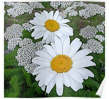 Shasta Daisies And Yarrow Blooms Poster