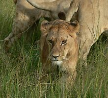 Wild Lioness by AngelaFoster