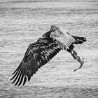 Juvenile Eagle With Catch 2015-1 by Thomas Young