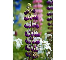 Lupin Flower Photographic Print